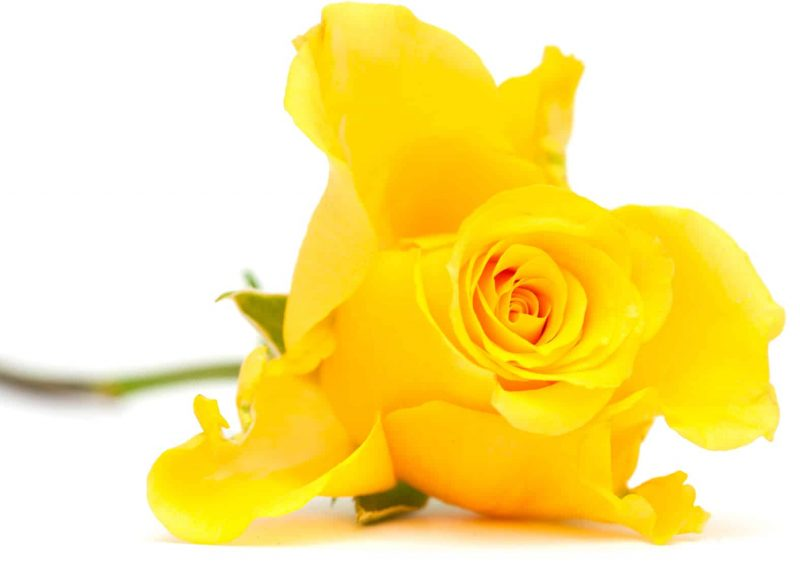 IoCF - Yellow Rose
