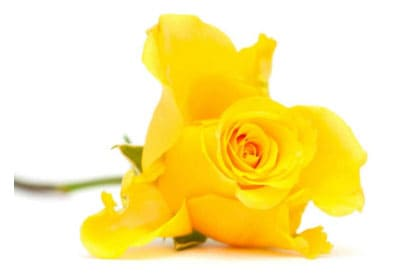 Yellow Rose Logo - Institute of Civil Funerals
