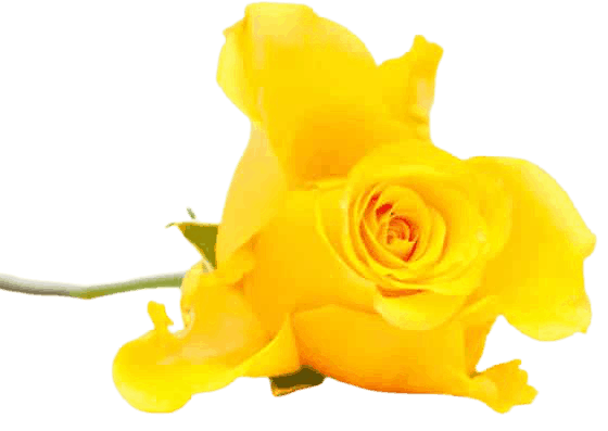 IOCF-Yellow-Rose-small-removebg-preview