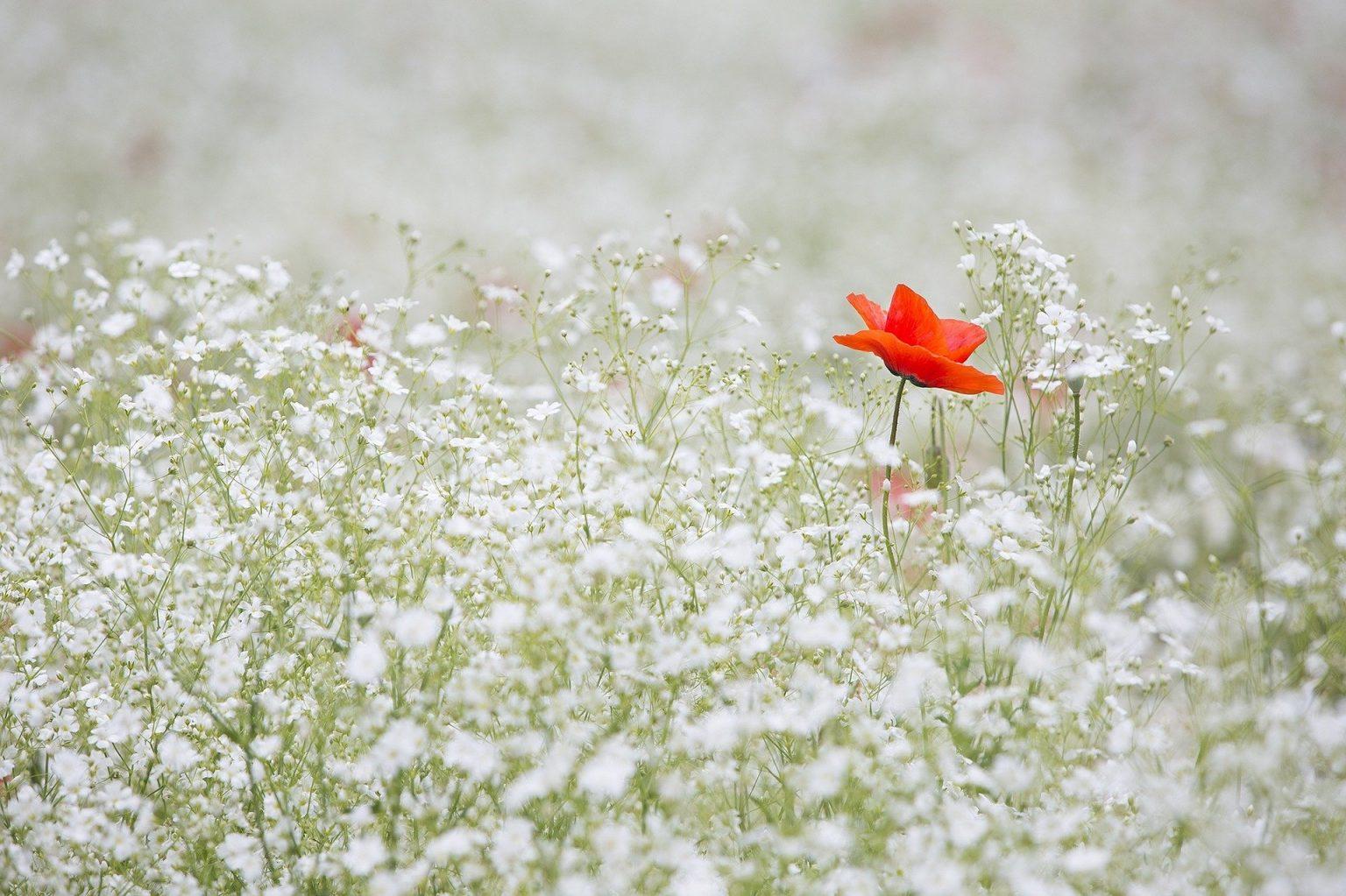 poppy-1128683_1920